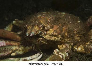 Sheep Crab