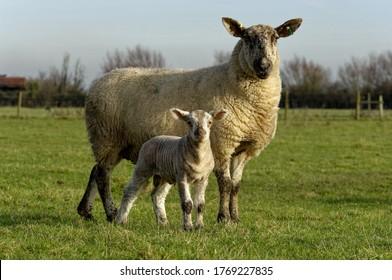 Sheep. Cross bred ewe and lambs standing in pasture.