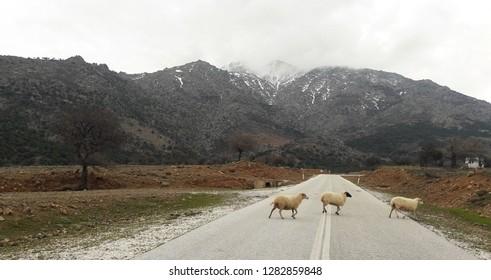 Sheep crossing street in Greece Mountains of Samothraki island