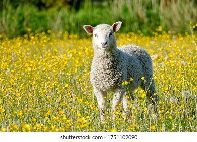 Sheep and cute lambs in springtime in Friesland