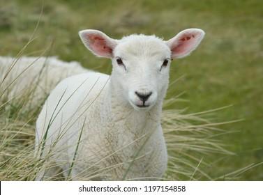 SHEEP CUTE NATURE