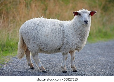 Sheep with dense fur chewing grass