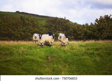 sheep in the distance 2