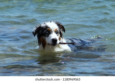 sheep dog with ble eyes in the water with stick in his mouth