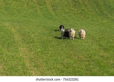 Sheep Dog Runs Behind Group of Sheep (Ovis aries) - at sheep dog herding trials