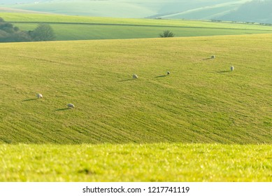 Sheep dotted across a hillside in late afternoon sunlight