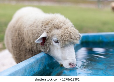 Water Sheep Images Stock Photos Vectors Shutterstock 2019 minecraft epic (tv series) watwer sheep. https www shutterstock com image photo sheep drinking clean water 1278612391