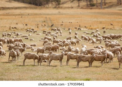 Sheep in a dry paddock