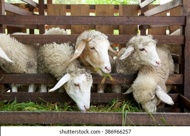 Sheep Eating In The Animal Pen