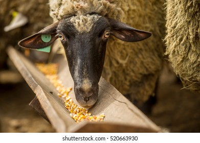Sheep eating corn fodder