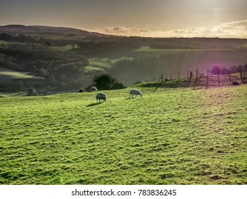 Sheep eating grass in the field