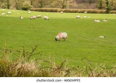 Sheep eating grass in field green field in Ireland