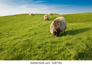 Sheep eating grass. In Helgoland Germany
