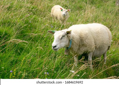 Sheep eating grass on a green meadow. Two sheeps grazing in the meadow. Sheep with a bell on the neck. Sheep on a beautiful landscape background.