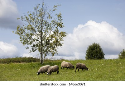 Sheep eating grass on a hill