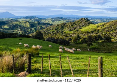 Sheep eating grass on the mountains of the north island of New Zealand