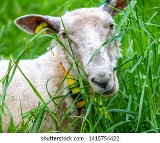 A sheep eating grass in a pasture