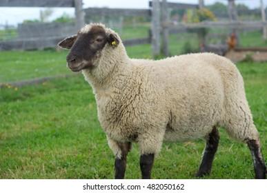 sheep in enclosure, black head white fur green field