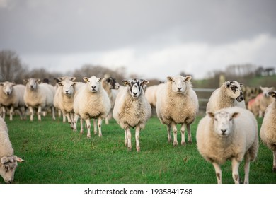 sheep ewe and lambs in fields looking