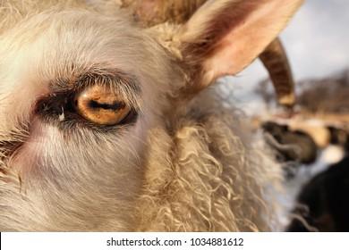sheep eye close up