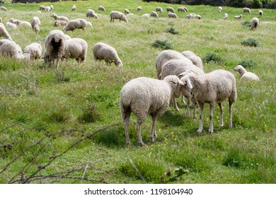 Sheep facing each other in a green field