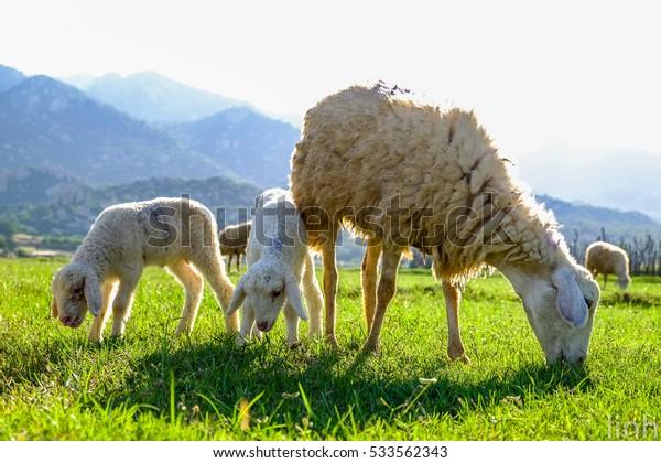 Sheep Family - Ninh Thuan - Viet Nam