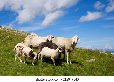 Sheep family on meadow