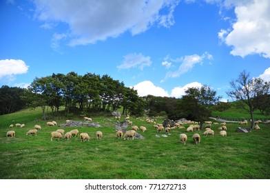 sheep in the sheep farm