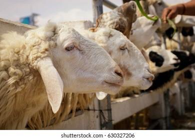 sheep in farm eating grass