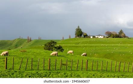 sheep farm in the field of newzealand