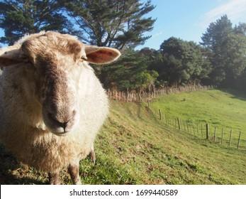 Sheep in farm at New Zealand