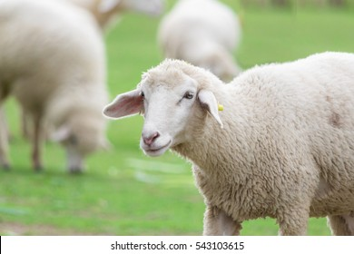 Line Drawing Of Sheep Face : Black sheep images stock photos vectors shutterstock