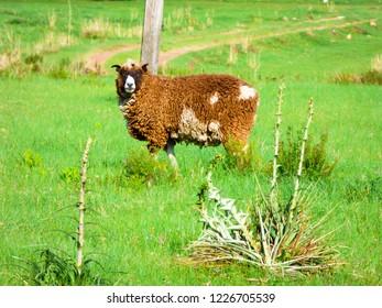 Sheep at a farm - pampa biome landscape in Uruguaiana, Brazil