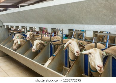 Sheep farm for the production of milk and wool