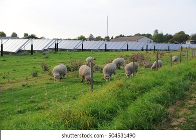 Sheep farm in solar farm or solar farm in sheep farm.