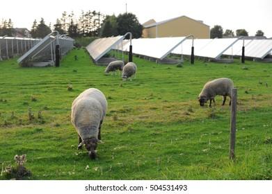 Sheep farm in solar farm or solar farm in sheep farm.