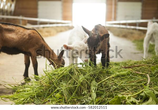 Sheep Farm Ukraine