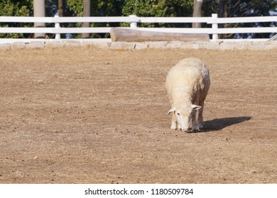 Sheep at a farm in winter