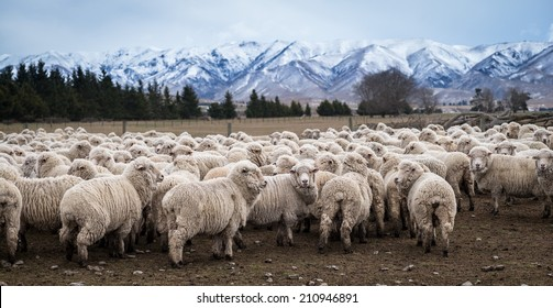 sheep farming in Central Otago, New Zealand
