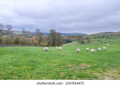 Sheep farming in Yorkshire Dales National Park. Yorkshire is the largest and one of the most scenic counties in England.