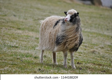 Sheep from Faroe Islands