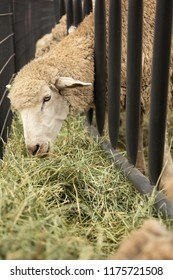 Sheep feeding through the bars of a pasture gate, with a trough of fresh hay