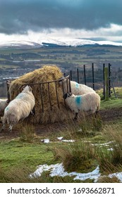 Sheep feeding in winter in the Pentland Hills around Edinburgh on a cold cloudy day