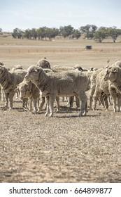 Sheep in a field Eastern Australia