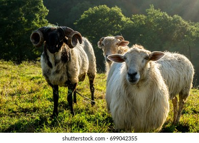 Sheep in the field. Evening in Basque Country