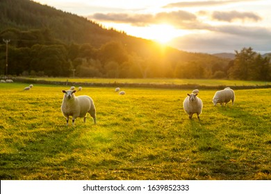 sheep in a field highlands scotland