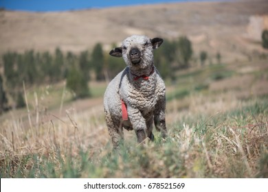 A sheep in a field of  Huancayo, Peru