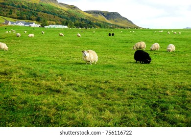 Sheep in field near Skógafoss