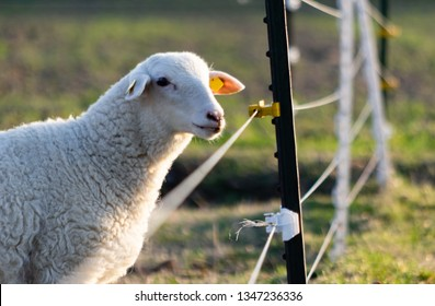 sheep in a field near an electric fence