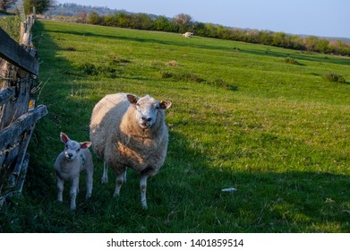 Sheep in a field in Rutland, England